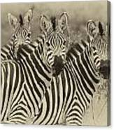 Zebra Trio Canvas Print