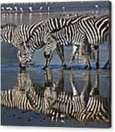 Zebras Drinking Ngorongoro Crater Tanzania Canvas Print