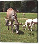 Zebra's Grazing Canvas Print