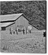 Zebras In San Simeon Canvas Print