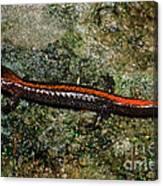 Zig-zag Salamander Canvas Print