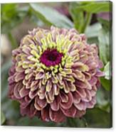 Zinnia Elegans Queen Red Lime Variety Canvas Print
