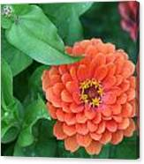 Zinnia Flower Stages Of Life Canvas Print