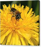 A Bee In A Dandelion Canvas Print