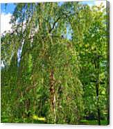 Birch Tree In Afternoon Canvas Print