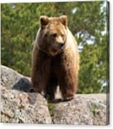 Brown Bear 4 Canvas Print