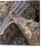 Crocodile - Time To Rest Canvas Print