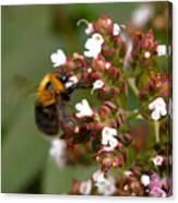 Cuckoo Bumblebee Canvas Print