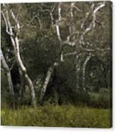 Dv Creek Trees Canvas Print