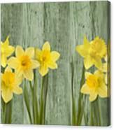 Fresh Spring Daffodils Canvas Print