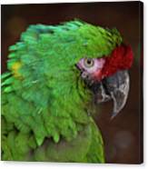 Great Green Macaw Ara Ambiguus Canvas Print