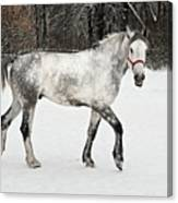 Light  Grey Horse Goes On A Winter Glade  Canvas Print