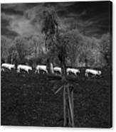 Line Of Cows Canvas Print
