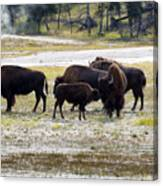 North American Female Buffalo And Her Offspring Showing Affecti Canvas Print