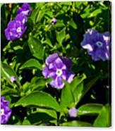 Purple Flowers In Pilgrim Place In Claremont-california Canvas Print