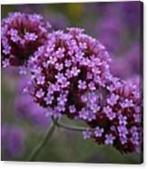 Purpletop Vervain Canvas Print