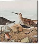 Red Backed Sandpiper Canvas Print