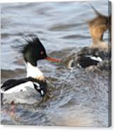 Red-breasted-merganser-ducks Canvas Print