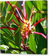 Red Spider Flower Close Up Canvas Print