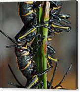 Romalea Microptera Hierarchy Canvas Print