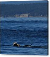 Southern Resident Orcas And Salmon Off The San Juan Islands Playing With Salmon Canvas Print