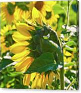 Sunflower 7249a Canvas Print