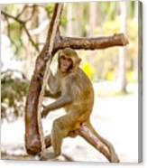 Swinging Monkey Canvas Print