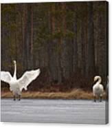 Whooper Swans 2 Canvas Print