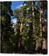 Yosemite Sequia Canvas Print