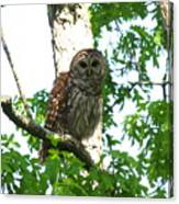 0298-001 - Barred Owl Canvas Print