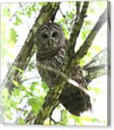 0304-002 - Barred Owl Canvas Print