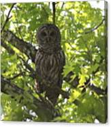 0313-010 - Barred Owl Canvas Print