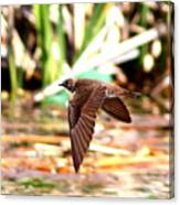 0518 - Northern Rough-winged Swallow Canvas Print