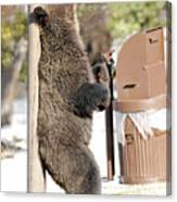 060510-grizzly Back Scratch Canvas Print
