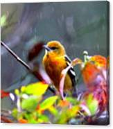 0651 - Baltimore Oriole Canvas Print