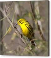 0839 -yellow Warbler Canvas Print