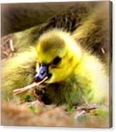 0983 - Canada Goose Canvas Print