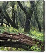 1b6338 Oak Forest On Sonoma Mountain Ca Canvas Print