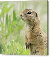 A European Ground Squirrel Standing In A Meadow In Spring Canvas Print