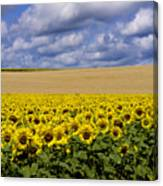 A Field Of Sunflowers . Auvergne. France Canvas Print