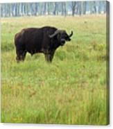 African Buffalo Canvas Print