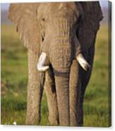 African Elephant Loxodonta Africana Canvas Print