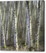 Afternoon Birch Trees Canvas Print