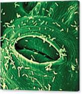 Agrobacterium Tumefaciens Canvas Print