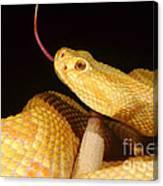 Albino Brazilian Rattlesnake Canvas Print