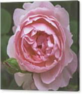 Alnwick Rose 1830 Canvas Print