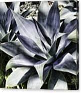 Aloe Canvas Print