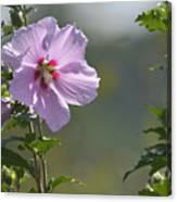 Althea Rose Of Sharon Hibiscus Bloom Canvas Print