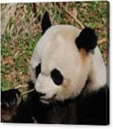 Amazing Panda Bear Holding On To Shoots Of Bamboo Canvas Print