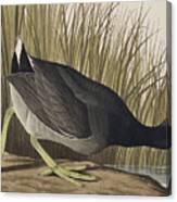 American Coot Canvas Print